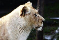 Vitt lejon Arkivfoto