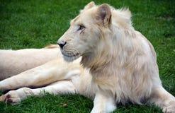 Vitt lejon Royaltyfri Foto