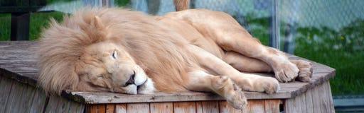Vitt lejon Arkivbilder