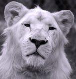 Vitt lejon Royaltyfri Bild