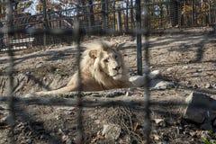 Vitt lejon i bur Fotografering för Bildbyråer