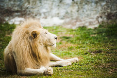 Vitt lejon i fångenskap royaltyfria foton