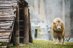 Vitt lejon i fångenskap royaltyfri fotografi