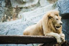 Vitt lejon i fångenskap arkivbild