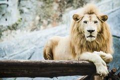 Vitt lejon i fångenskap arkivfoton