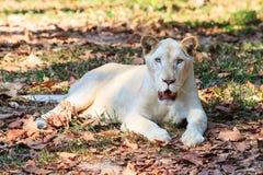 Vitt lejon i zoo Royaltyfri Foto