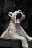 Vitt lejon yawn2 Arkivfoto