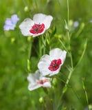 Vitt lin blommar i trädgården Linum grandiflorum royaltyfri foto