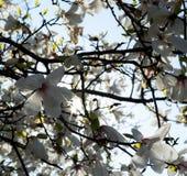 Vitt magnoliaträd i vår Royaltyfria Foton