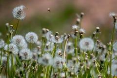 Vitt maskrosfält på grönt gräs arkivbild