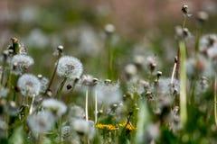 Vitt maskrosfält på grönt gräs arkivfoto