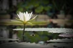 Vitt meditativt waterlily Fotografering för Bildbyråer
