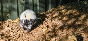 Vitt och svart gemensamt anseende för randig skunk och sniffa in mot kameran ett löst stinkande djur från Kanada royaltyfri bild
