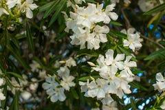 Vitt oleanderträd Royaltyfria Foton