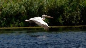 Vitt pelikanflyg arkivbilder