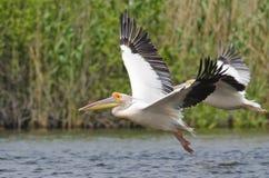 Vitt pelikanflyg Arkivbild