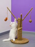 Vitt persiskt spela för kattunge Royaltyfri Foto