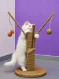 Vitt persiskt spela för kattunge Royaltyfri Fotografi