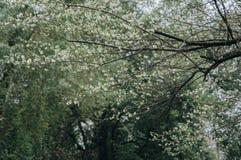 Vitt plommonblomningträd royaltyfri fotografi