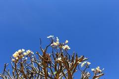 Vitt plumeriaträd i blå himmel arkivfoto