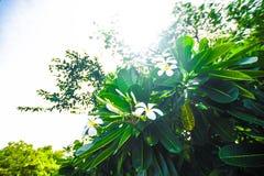 Vitt Plumeriaträd med solljus arkivfoton