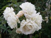 Vitt rent rosa anseende ut från busken i trädgården, stängd-upp fokus-på-förgrund med suddighetsträdbakgrund, vitrosidé för Arkivbilder