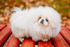 Vitt sammanträde för hund för valp för valp för pekinespekinespekines på trä Royaltyfri Foto
