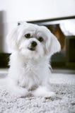 Vitt sammanträde för maltese hund på matta Royaltyfri Foto