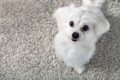 Vitt sammanträde för maltese hund på matta Arkivbild