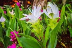 Vitt Siam Tulip - Dok Krachiao fält Royaltyfri Fotografi