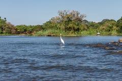 Vitt skägg i Nicaragua sjön royaltyfri fotografi