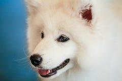 Vitt slut för valp för Samoyedhundvalp upp Arkivfoton