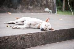 Vitt sova för hund Fotografering för Bildbyråer