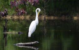 Vitt stort putsa för vadande fågel för ägretthäger royaltyfri fotografi