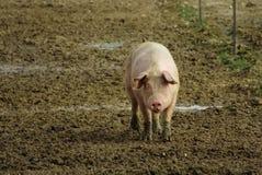 Vitt svin på svinfarm arkivbild