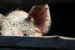 Vitt svin som ser till och med staketet Royaltyfri Fotografi