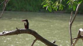 Vitt Throated sammanträde för kungsfiskarekungsfiskaresmyrnensis på trädfilial arkivfilmer
