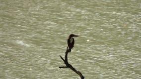 Vitt Throated sammanträde för kungsfiskarekungsfiskaresmyrnensis på trädfilial stock video