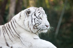 Vitt tigerhuvud Arkivbilder