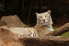 Vitt tigersammanträde bredvid trädfilial Royaltyfria Bilder