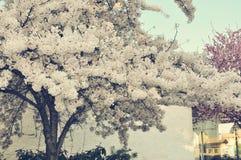Vitt träd för körsbärsröd blomning i mina drömmar Arkivfoto