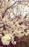 Vitt träd för körsbärsröd blomning i vår Arkivfoton