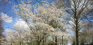 Vitt träd för körsbärsröd blomning mot en blå himmel i Lisse, Netherlan royaltyfria bilder