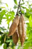 Vitt träd för siden- bomull Arkivfoton