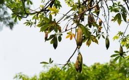Vitt träd för siden- bomull, Ceiba, kapock, vetenskapligt namn för Java bomull: Ceibapentandra arkivfoton