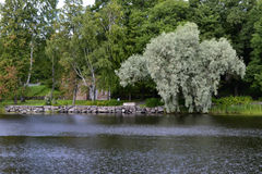 Vitt träd vid floden Arkivfoton