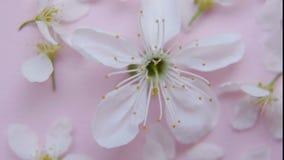 Vitt våräpple eller körsbärsröd blomning stock video