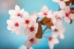 Vitt vårträd som blomstrar blommor royaltyfria foton