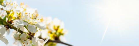 Vitt v?rtr?d som blomstrar blommor, bred vinkel April vita blommor som ?r horisontal med extra utrymme bredvid huvudsakligt objek arkivfoto