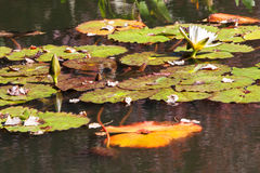 Vitt vatten Lily Blooms Among Lilypads Of norr Georgia Pond Arkivbild